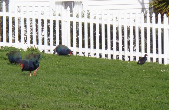 Takahe and Pukeko eating grass
