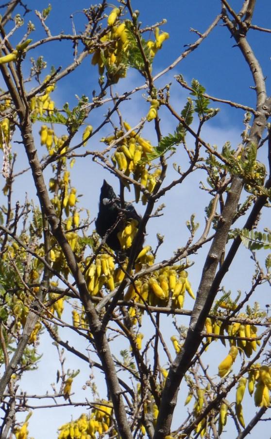 Tui in Kowhai tree