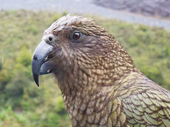 A very inquisitive Kea sitting on our car