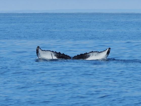 humpback-tail.jpg