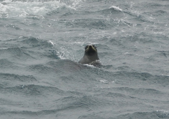 looking seal