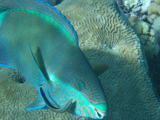 Parrot Fish with Remora