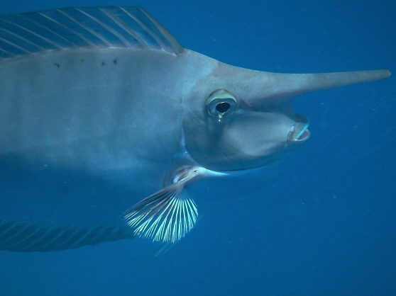 Unicorn Fish Close-up