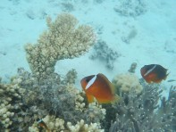 Clown fish on the reef