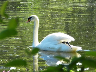 Swan at St James'