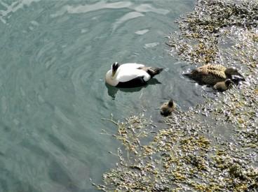Eider Duck family