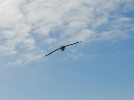 Gull soaring