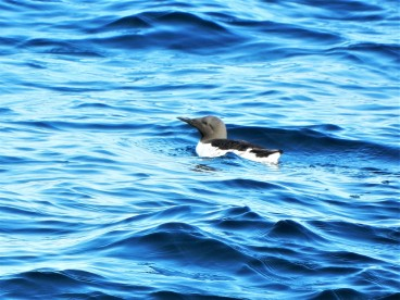 Murre or Guillemot?