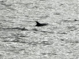 Common Porpoise