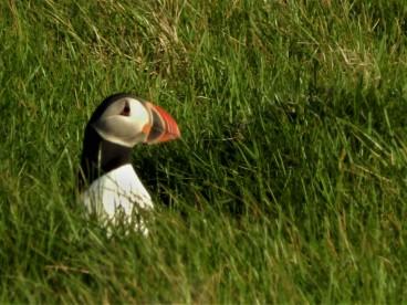 Puffins, Stórhöfði, Heimaey Island, Iceland