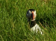 Puffin peaking out of burrow
