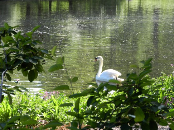 Swan through bushes, St. James